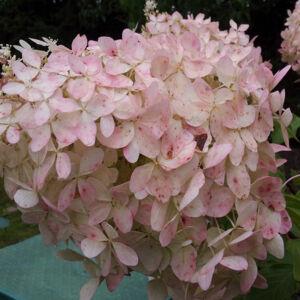Hydrangea paniculata 'Mega Pearl' – Fehér-rózsaszín bugás hortenzia