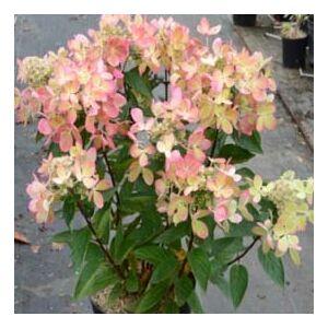 Hydrangea paniculata 'Pastelgreen'® – Bugás hortenzia