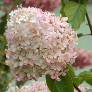 Hydrangea paniculata 'Phantom' – Óriás, fehér-rózsaszín bugás hortenzia
