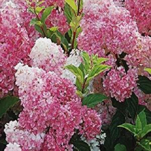 Hydrangea paniculata 'Pink Lady' – Rózsaszín bugás hortenzia
