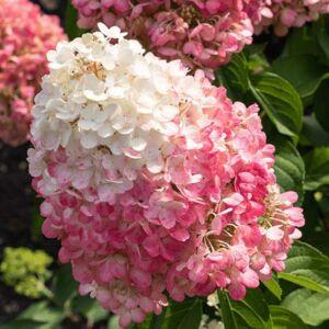 Hydrangea paniculata 'Pinky Promise' – Bugás hortenzia
