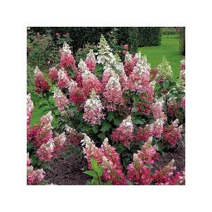Hydrangea paniculata 'Pinky Winky'® – Rózsaszín bugás hortenzia