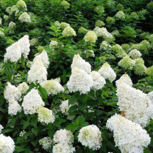 Hydrangea paniculata 'Polar Bear'® – Fehé, óriásvirágú hortenzia (díjnyertes)