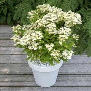 Hydrangea paniculata 'Polestar' – Fehér-rózsaszín bugás hortenzia