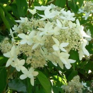 Hydrangea paniculata 'Praecox' – Bugás hortenzia