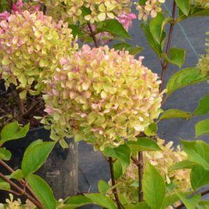 Hydrangea paniculata 'Romantic Ace' – Bugás hortenzia