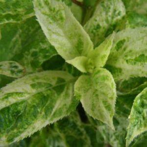 Hydrangea paniculata 'Shikoku Flash' – Bugás hortenzia