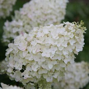 Hydrangea paniculata 'Silver Dollar' – Fehér bugás hortenzia