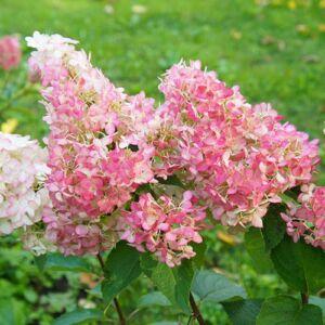 Hydrangea paniculata 'Sundae Fraise' – Rózsaszín bugás hortenzia