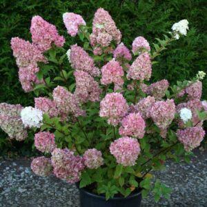 Hydrangea paniculata 'Sunday Fraise'® – Rózsaszín bugás hortenzia