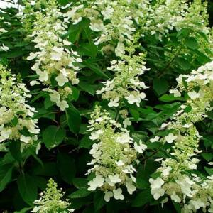 Hydrangea paniculata 'Tardiva' – Bugás hortenzia