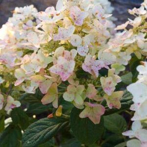 Hydrangea paniculata 'Tickled Pink' – Bugás hortenzia