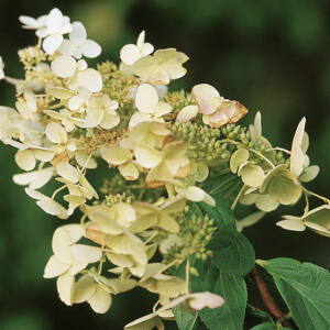 Hydrangea paniculata 'Unique' – Fehér bugás hortenzia