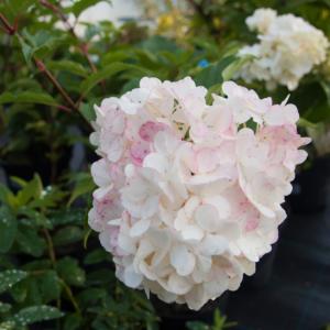 Hydrangea paniculata 'Vanille Fraise' -  Bugás hortenzia