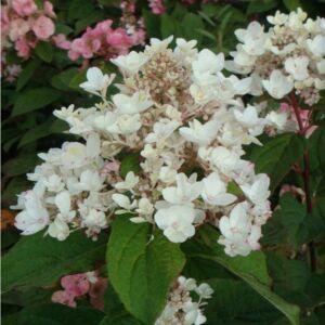 Hydrangea paniculata 'White Diamond' – Bugás hortenzia
