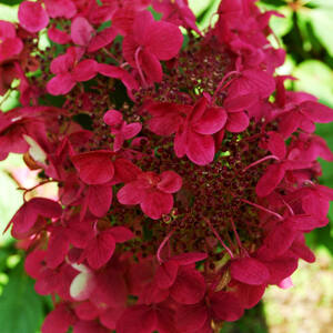 Hydrangea paniculata 'Wim's Red' – Bordó bugás hortenzia