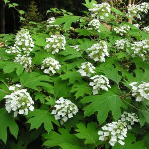 Hydrangea quercifolia 'Alice' – Tölgylevelű hortenzia