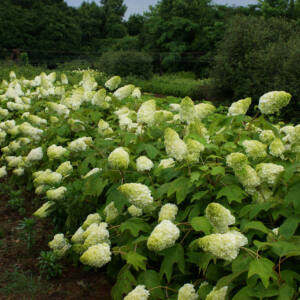 Hydrangea quercifolia 'Harmony' – Tölgylevelű hortenzia