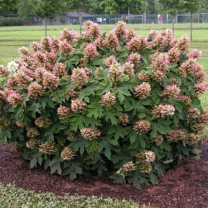 Hydrangea quercifolia 'Munchkin'® - Tölgylevelű hortenzia