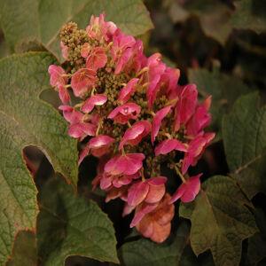 Hydrangea quercifolia 'Ruby Slippers®' – Tölgylevelű hortenzia