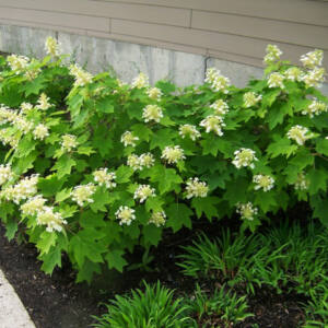 Hydrangea quercifolia 'Sikes Dwarf' – Törpe tölgylevelű hortenzia