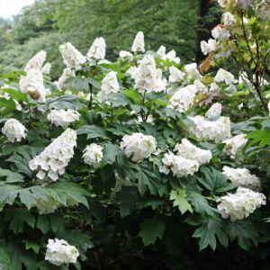 Hydrangea quercifolia 'Snow Giant' – Tölgylevelű bugás hortenzia