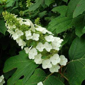 Hydrangea quercifolia 'Snow Queen' – Tölgylevelű hortenzia
