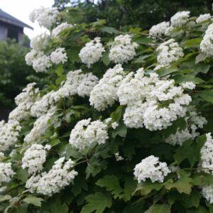 Hydrangea quercifolia 'Snowflake' – Tölgylevelű bugás hortenzia