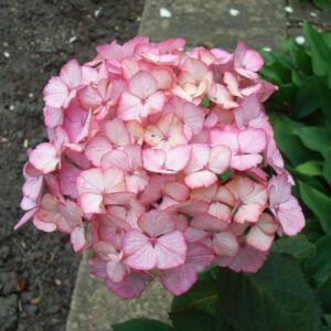 Hydrangea serrata 'Preziosa' – Hortenzia