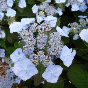 Hydrangea serrata 'Yesoensis' – Hortenzia