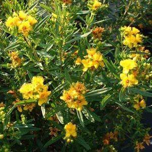 Hypericum densiflorum 'Buttercup' – Vékonylevelű orbáncfű