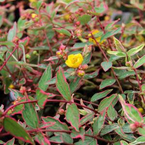 Hypericum moserianum 'Tricolor' – Tarka orbáncfű