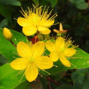 Hypericum x inodorum 'Loke' – Orbáncfű
