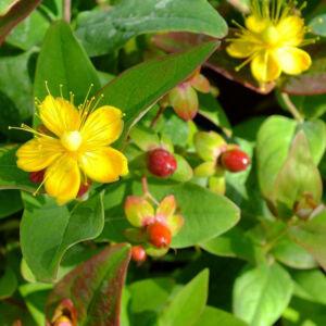 Hypericum x inodorum 'Rheingold' – Bordó bogyós orbáncfű