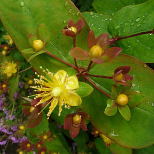 Hypericum inodorum 'Elstead' – Piros bogyós orbáncfű
