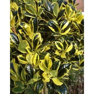 Ilex aquifolium 'Golden van Tol' – Sárga-tarka magyal