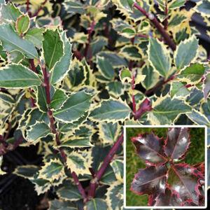 Ilex aquifolium 'Rubricaulis Aurea' – Sárga-tarka levelű magyal