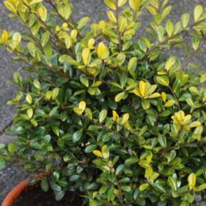 Ilex crenata 'Golden Gem' – Aprólevelű magyal