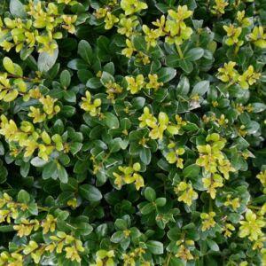 Ilex maximowicziana var. kanehirae – Japán magyal