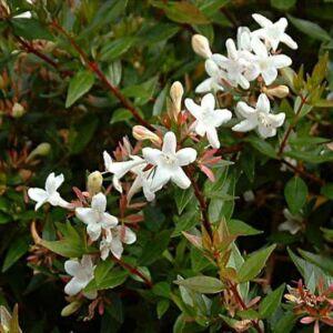 Abelia grandiflora 'Compacta' – Törpe nagyvirágú tárnicslonc