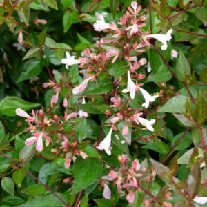 Abelia grandiflora 'Semperflorens' – Tárnicslonc