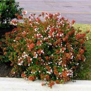 Abelia grandiflora 'Sherwoodii' – Nagyvirágú tárnicslonc (fehér)
