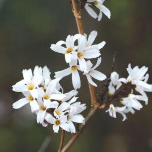 Abeliophyllum distichum – Koreai hóvessző