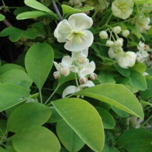 Akebia quinata 'Alba' - Ötlevelű akébia