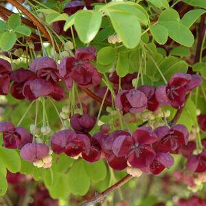 Akebia quinata – Ötlevelű akébia