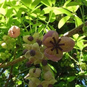 Akebia quinata 'Silver Bell's' - Ötlevelű akébia