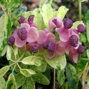 Akebia quinata 'Variegata' – Ötlevelű akébia