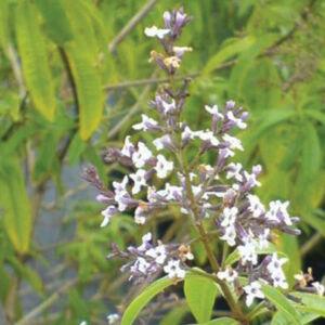 Aloysia triphylla  – Háromlevelű citromcserje (extra illatos limonádénak)