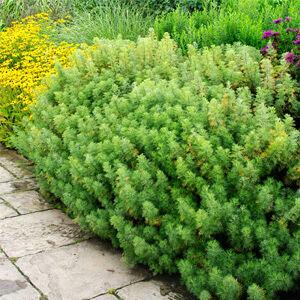 Artemisia abrotanum - Istenfa, ürömcserje