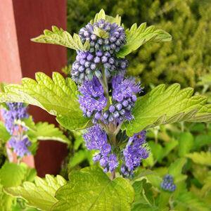Caryopteris clandonensis 'French Heaven' – Angol kékszakáll